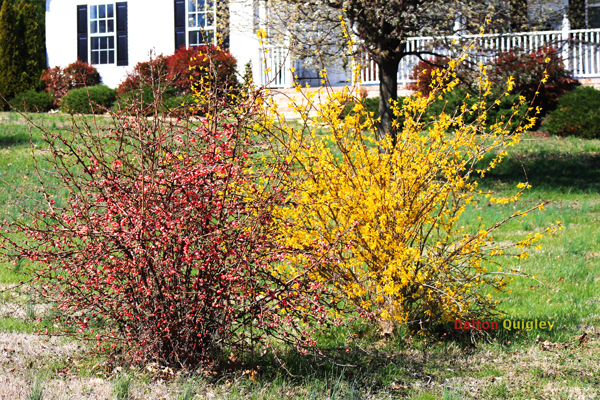 Companion-Blooming-plant Quince and Forsythia bushess